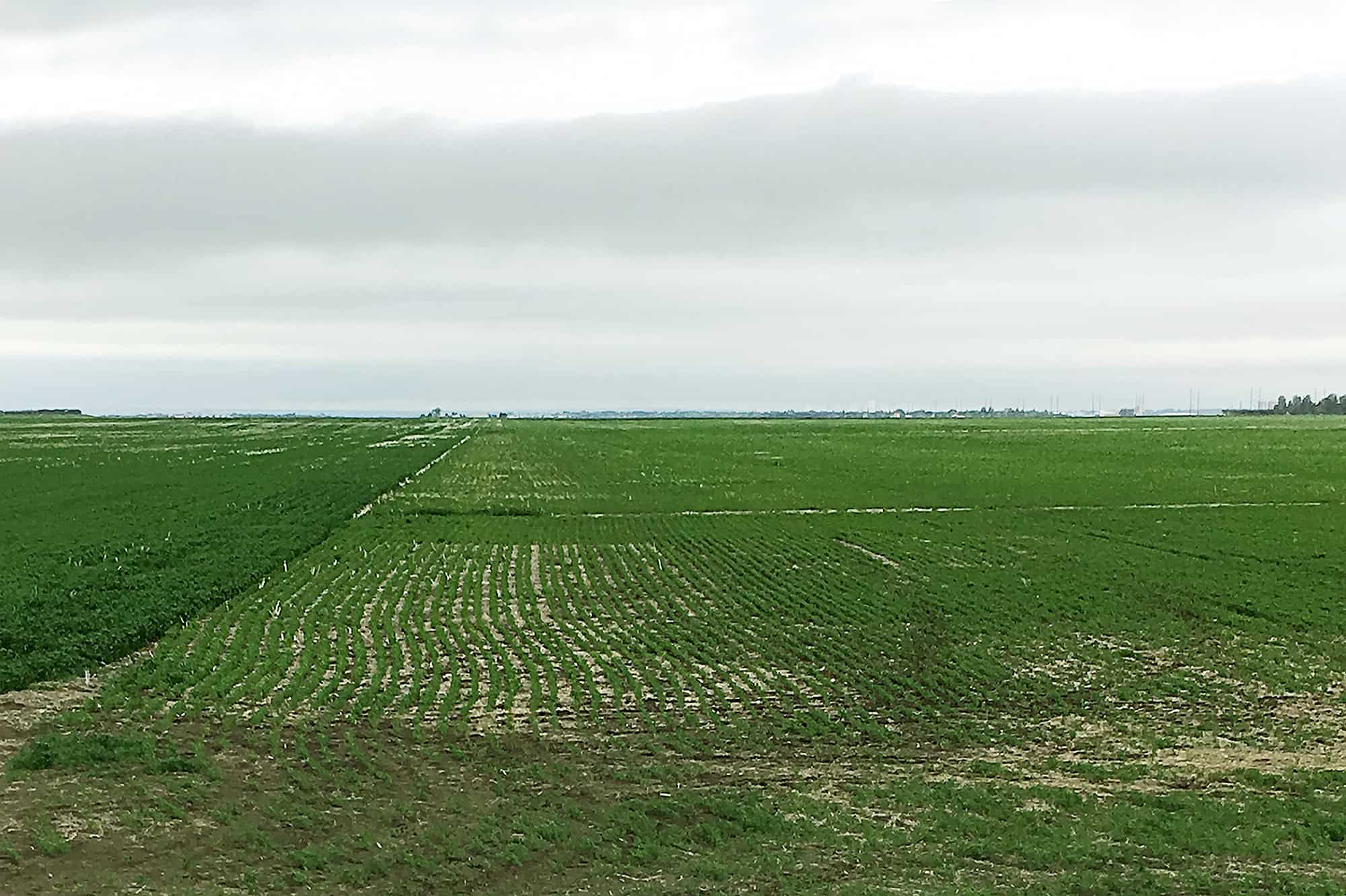 Lentil Fields at Simpson Family Farms, Saskatchewan, Canada